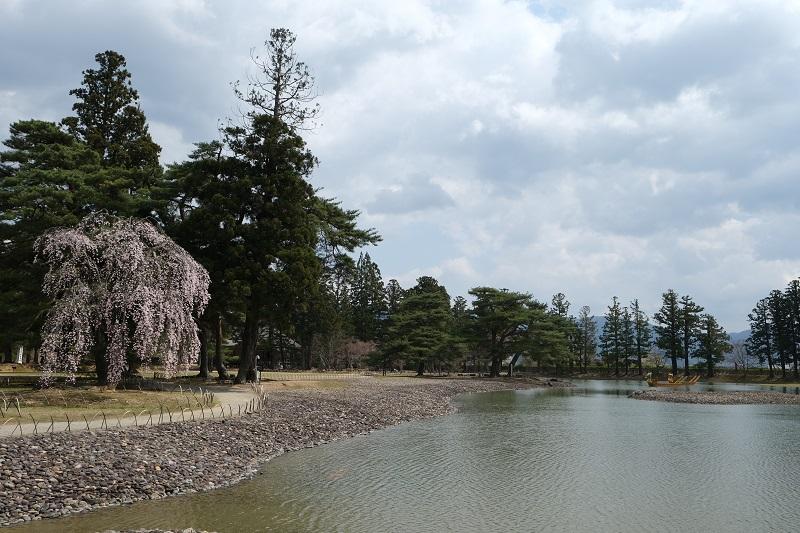 大泉ヶ池の桜